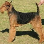 airedale terrier adult
