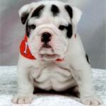 Bulldog englez pui