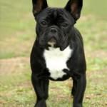 Bulldog francez adult