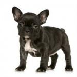 Bulldog francez pui
