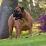 Bullmastiff ADULT 150x150 Doberman