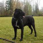 Cane Corso Adult