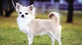 Sa intelegem cainii – Chihuahua
