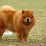 Chow Chow ADULT 150x150 Golden Retriever