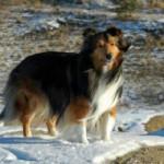 Ciobanesc de Shetland Adult