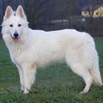 Ciobanesc alb elvetian adult