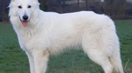 Ciobanesc alb Elvetian