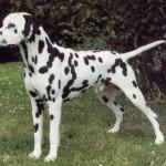 dalmatian adult