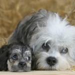 Dandie Dinmont Terrier Pui
