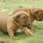 Dog de Bordeaux Pui