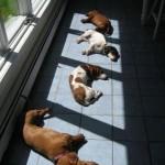 caini in soare