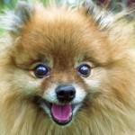 25 cele mai populare rase de caini si problemele lor de sanatate - partea II