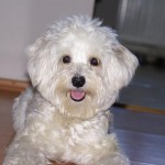 Tia bichonul havenez 150x150 Bichon Havanez