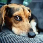 25 cele mai populare rase de caini si problemele lor de sanatate - partea I