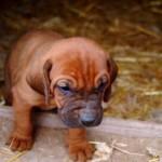 Bloodhound pui