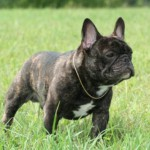 french+bulldog 150x150 Bichon Havanez