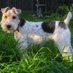 Fox Terrier sarmos adult