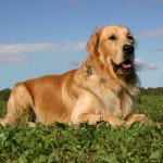 Golden Retriever ADULT 150x150 Golden Retriever