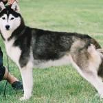 Husky Siberian Adult