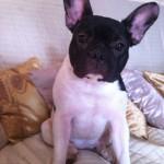 Prada, un bulldog francez plin de energie!