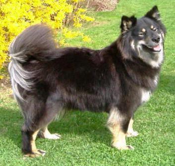 Lapphund Finlandez