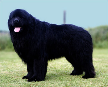 Canisa Grandiouse Black Dog