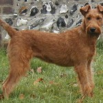 Terrier Irlandez Adult