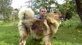 Canisa Caucaz C De Arges