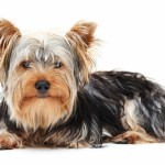 yorkshire terrier 150x150 Golden Retriever
