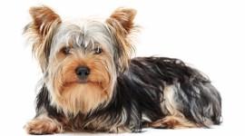 Canisa Minidog