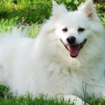 An American Eskimo Dog 150x150 Golden Retriever