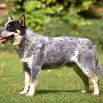 Australian Cattle Dog 150x150 Doberman