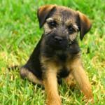 Rase de caini: Border Terrier