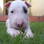 Rase de caini: Bull Terrier