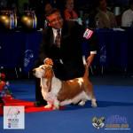 Basset Hound Euro Dog Show 2012 Romania