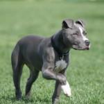 american pit bull terrier 150x150 Copoi ardelenesc