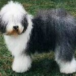 Rase de caini: Bobtail (Old English Sheepdog)