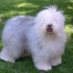 bobtail english sheepdog 150x150 Golden Retriever