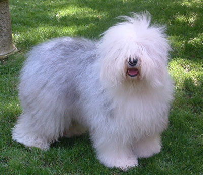 Bobtail (Old English Sheepdog)