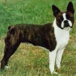 Rase de caini: Boston Terrier