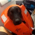 PRIETENIE INEDITA: Un labrador inoată alaturi de delfini - VIDEO