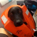 Labradorul Kira inoata cu delfini