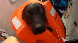PRIETENIE INEDITA: Un labrador inoată alaturi de delfini – VIDEO