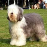 Rase de caini: Bobtail (Old English Sheepdog)