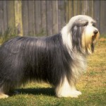 Bearded Collie - rase de caini