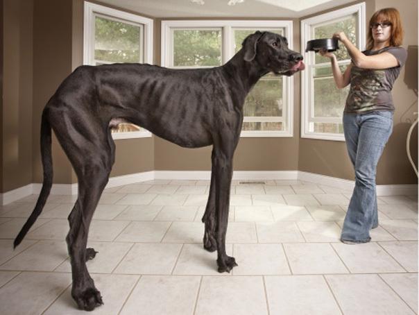 Cel mai inalt caine din lume - Dog German