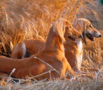 Top 11 cele mai scumpre rase de caini