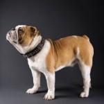 Bulldog englez adult
