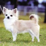 rase de caini: chihuahua