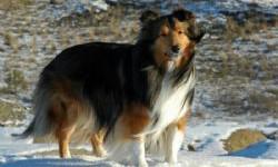 Ciobanesc de Shetland